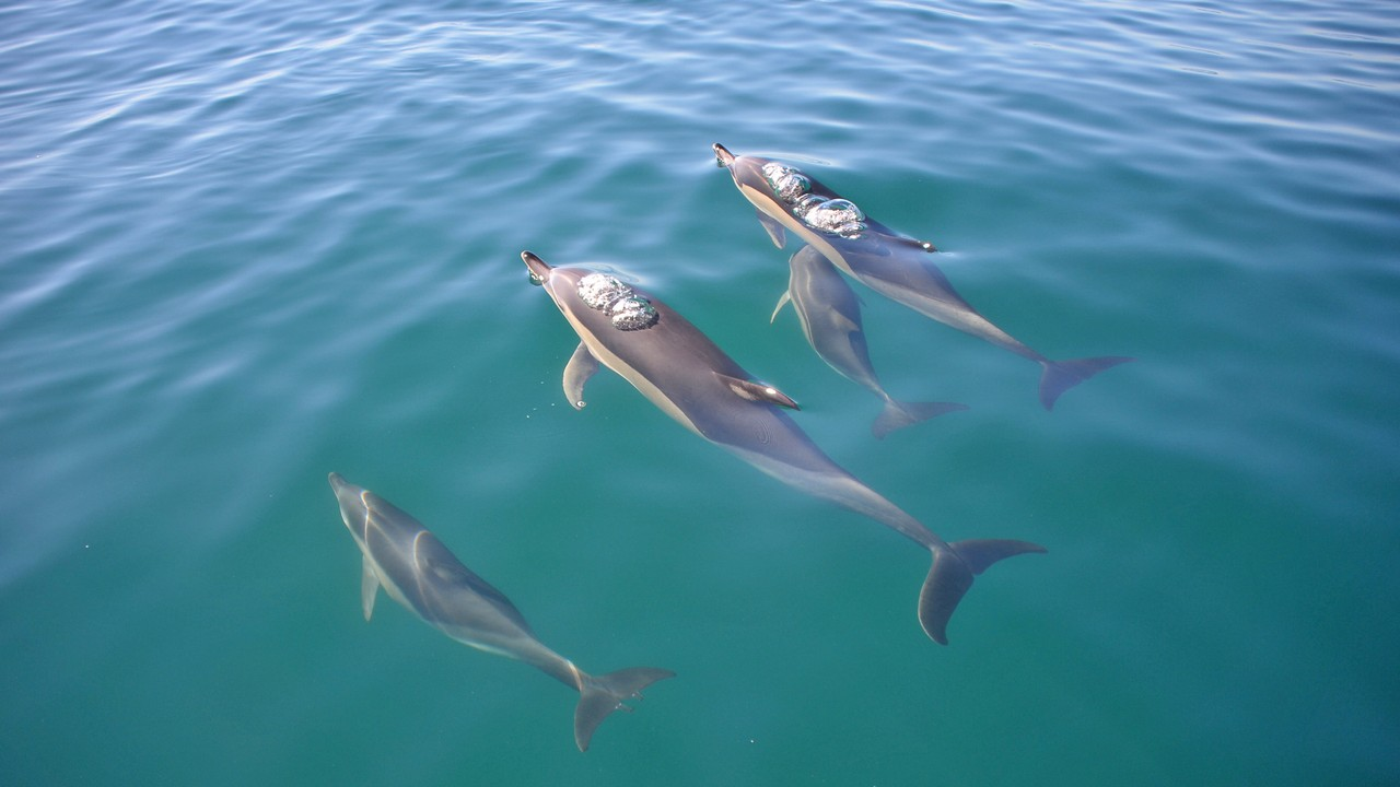 Dlphins in the Algarve