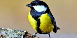 Chapim bird