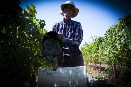 Tempo De Vindimas: Experimente A Colheita De Uvas Em Um Vinhedo No Alentejo, Portugal