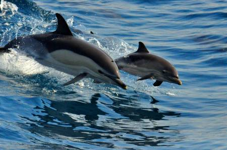 Wild Common Dolphin Mother & Calf