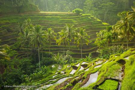 tegalallang rice plantation bali indonesia