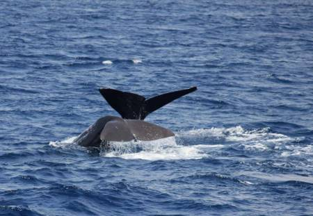 Whale And Dolphin Watch + Coastal Tour On Terceira Island, Azores