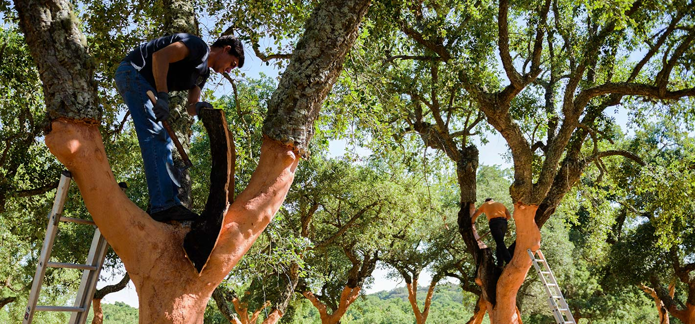 cork tree https://bentandbree.com/cork-trees-endangered/