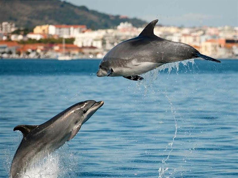 roaz dolphin sado river