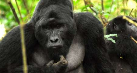 3 Days Gorilla Trekking In Uganda: Trip To The Bwindi Impenetrable National Park